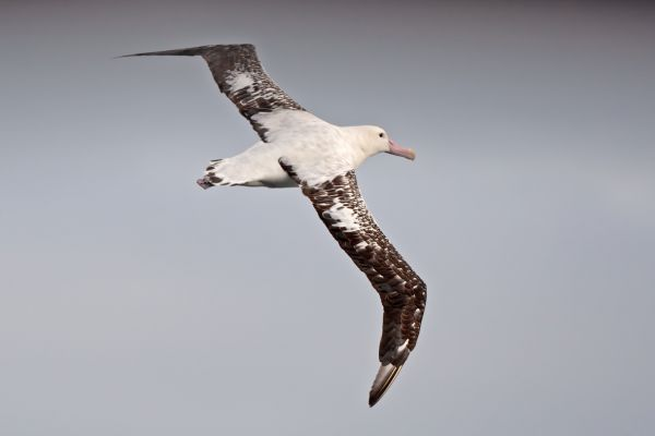2011-04-09-tristan-albatross-005-1E6CB9B9B-5E42-11B3-4AF4-4F98246EB558.jpg