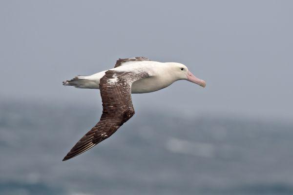 2011-04-09-tristan-albatross-008-1EA1D10C8-1744-8A9C-28CC-697350AA9DDF.jpg