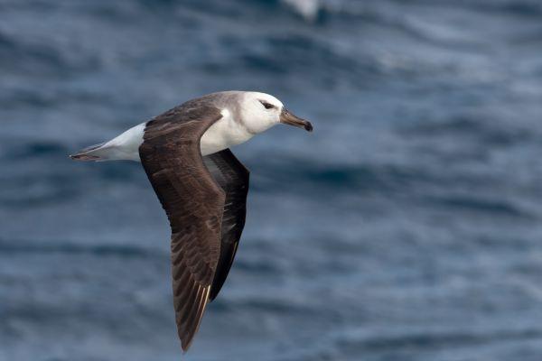 2011-04-10-black-browed-albatross-01307E17B69-D280-984A-BB3B-1413DCF45BAA.jpg