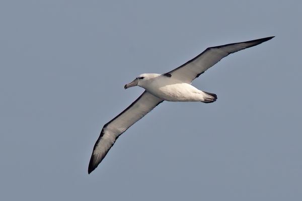 2011-04-10-salvin-s-albatross-046FBFDCB08-FE7F-3FA5-36CB-230A7476645B.jpg