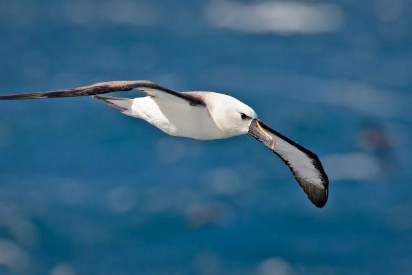 2011-04-11-atlantic-yellow-nosed-albatross-0684AB4E5DE-7D85-11FD-20BC-4BFF466FC15A.jpg