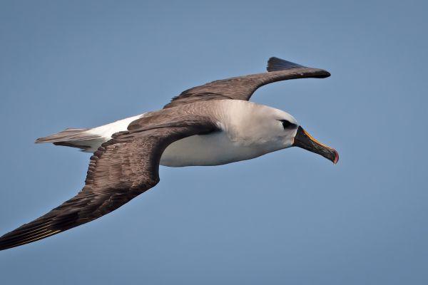 2011-04-11-atlantic-yellow-nosed-albatross-075D4BF5FCB-2C31-7BA0-3630-E89D6B005028.jpg