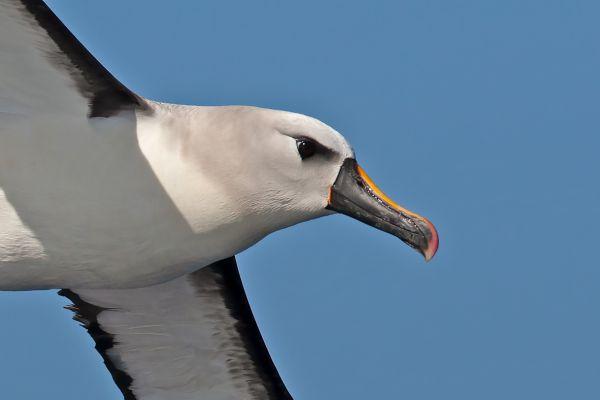 2011-04-11-atlantic-yellow-nosed-albatross-1067208243A-8551-D8A4-B813-A74FFFE640BB.jpg