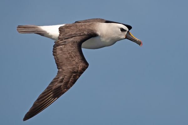 2011-04-11-atlantic-yellow-nosed-albatross-131466D231A-5094-01CF-54AB-F947E6EFF947.jpg