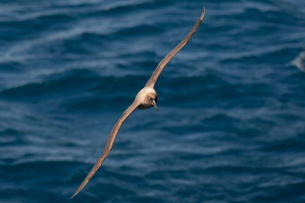 2011-04-11-sooty-albatross-022DFC28D58-C62E-C691-DDD1-F426788D3DBB.jpg