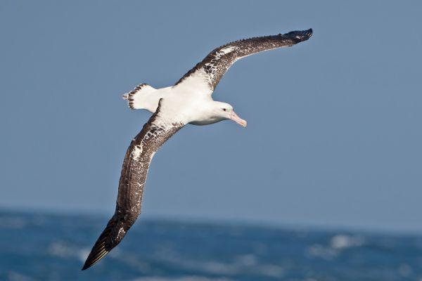 2011-04-11-tristan-albatross-00287907550-228F-BCFC-6AAC-DDBBA09C331D.jpg