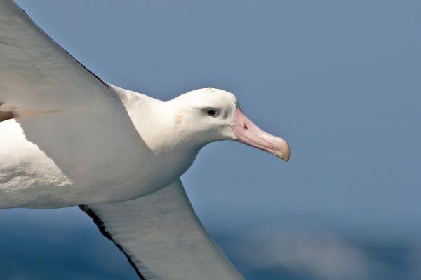 2011-04-11-tristan-albatross-010E7DD315C-F370-60DD-43A7-4C01BCBF249C.jpg