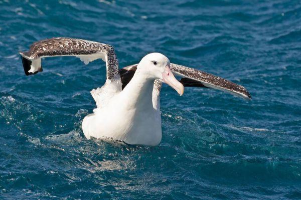 2011-04-11-tristan-albatross-014830D77D7-D5AC-FE4F-6ED9-BF2C2F0996F3.jpg