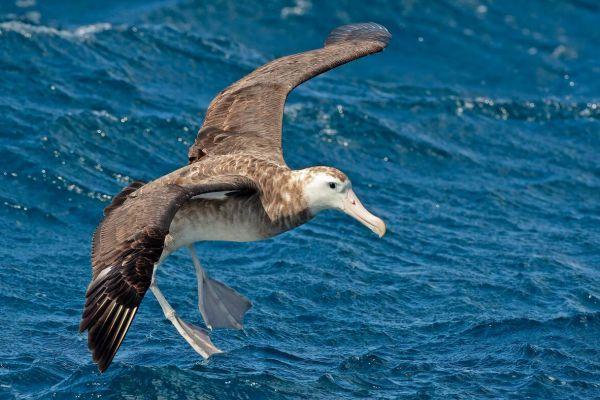 2011-04-11-tristan-albatross-033E04B8F14-83BF-82BC-F4A0-AEB7439C878F.jpg