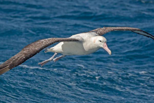 2011-04-11-tristan-albatross-0891CABA07F-125F-57CC-C5BC-B421F677FCAC.jpg