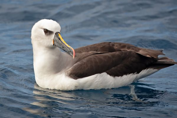 2011-04-14-atlantic-yellow-nosed-albatross-0014D1D9CD1-2463-3F29-D2E9-FD2733EA3F3E.jpg