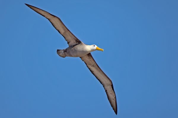 2016-12-10-waved-albatross-005331719930-9304-3F84-BA77-5C21786FDE4B.jpg