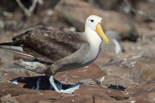 2016-12-10-waved-albatross-0069B101C37C-2B6B-308B-7D39-F3AAD968E0F3.jpg