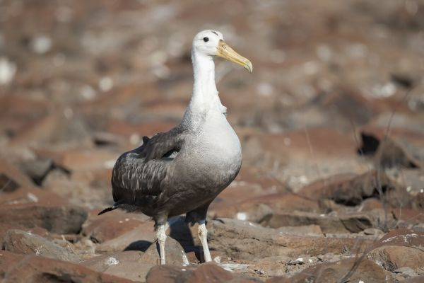 2016-12-10-waved-albatross-008646D61BFD-CA61-055F-1DAE-4478584842D5.jpg