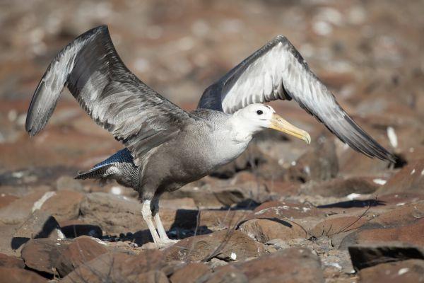 2016-12-10-waved-albatross-0108F969A940-A8B6-5AB8-1CAA-CA22B0C29202.jpg