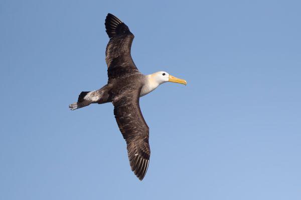 2016-12-10-waved-albatross-044750895407-0132-8FBA-A87C-293D73B67C16.jpg