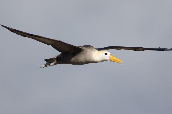 2016-12-10-waved-albatross-04625DB93A5B-DADA-272D-4AD3-943C34ECE825.jpg