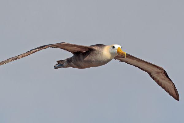 2016-12-10-waved-albatross-058531DB12C9-020C-990C-D1A8-37FE77214CB1.jpg