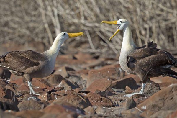 2016-12-10-waved-albatross-09852F53F58F-3B9E-1D17-FC65-E933004C2BC3.jpg