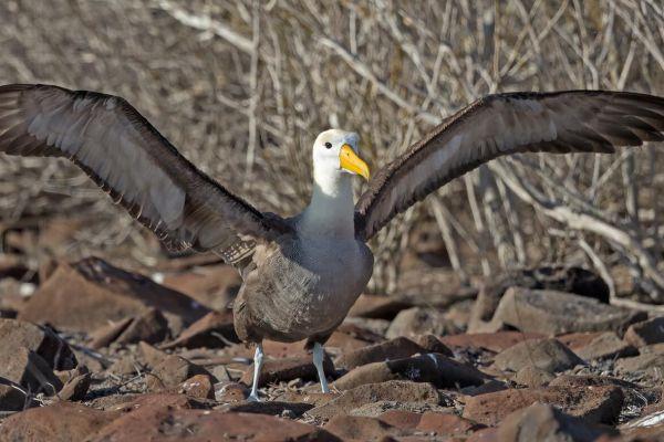 2016-12-10-waved-albatross-1315E2EEEC93-5EEF-996D-C853-3DC3974156F9.jpg