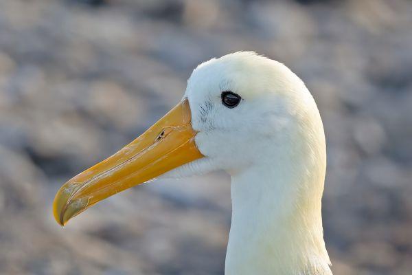 2016-12-10-waved-albatross-137338D2FAE4-15EF-C739-F2FC-515842401C9E.jpg