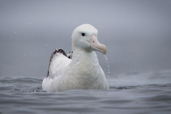 2019-03-04-antipodean-albatross-0002F6567EE9-B8B4-7BE5-C29E-AAF0BE6B1671.jpg