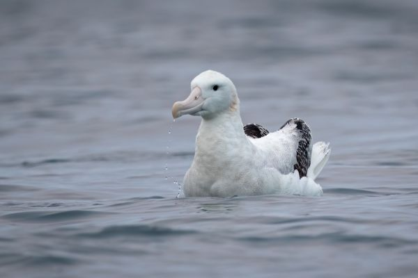 2019-03-04-antipodean-albatross-00066DC8F388-D44A-E1ED-9CEF-EEAADD5DE7A5.jpg