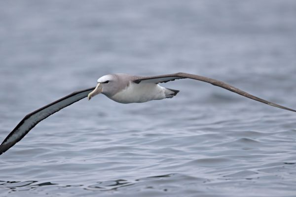 2019-03-04-salvin-s-albatross-00032D453084-78BD-A15F-80AF-67D9BF4EA2F3.jpg