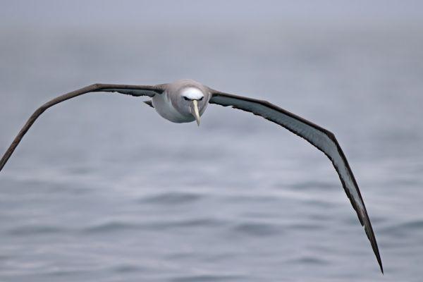 2019-03-04-salvin-s-albatross-001226177548-281D-72E5-0DAC-3C0D5B278DE0.jpg