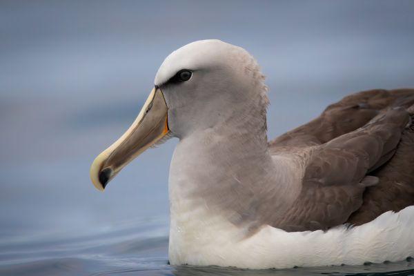 2019-03-04-salvin-s-albatross-0044-bewerkt3C313E90-4332-026D-EF7D-3BA0CBBE537C.jpg