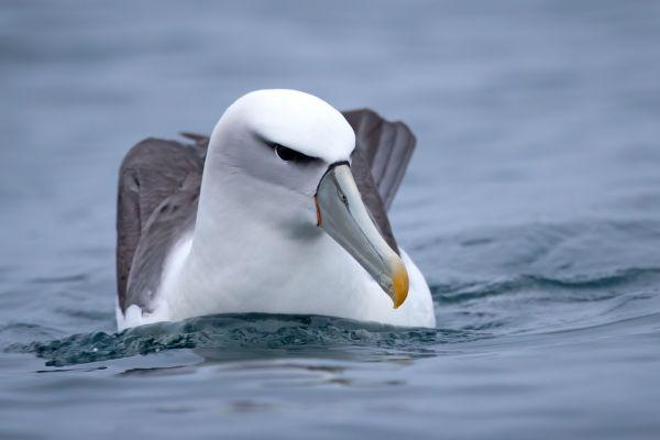 2019-03-04-shy-albatross-00284981F80C-336F-474A-6197-C06EEF450158.jpg