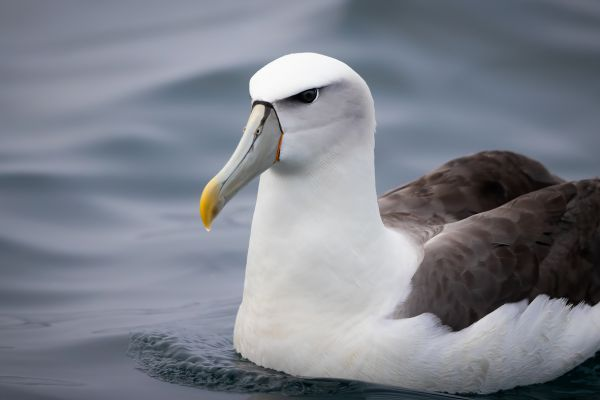 2019-03-04-shy-albatross-0090-bewerkt7B965516-4DA8-A876-D61A-3C4A52B742EF.jpg