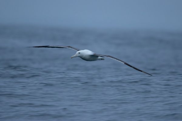 2019-03-04-southern-royal-albatross-0007B413D9D0-95F3-B59E-22EC-FE0368327CA4.jpg