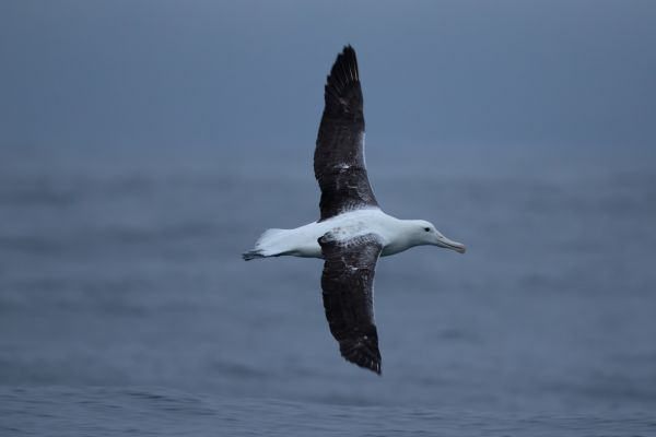 2019-03-04-southern-royal-albatross-00107C6D9FEA-A913-3A53-89FB-E9A378A576C9.jpg
