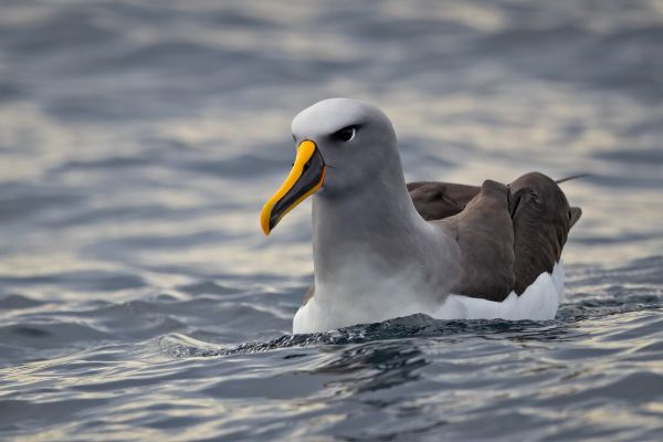 2019-03-11-buller-s-albatross-0052CB32C05C-252E-8F23-2619-2253BA3C2A8D.jpg
