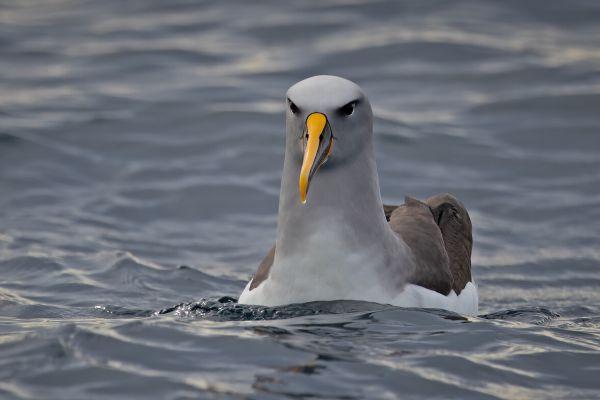 2019-03-11-buller-s-albatross-0059-27B0592E4-5789-6F3E-3765-0871BD8FCB0D.jpg