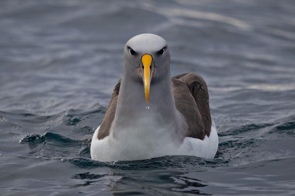 2019-03-11-buller-s-albatross-0068E362238C-E5C4-603D-F17C-EE01ABD66428.jpg