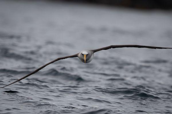 2019-03-11-buller-s-albatross-0188CC350F2A-8EF7-8F42-AA9D-2BFFC003BE57.jpg