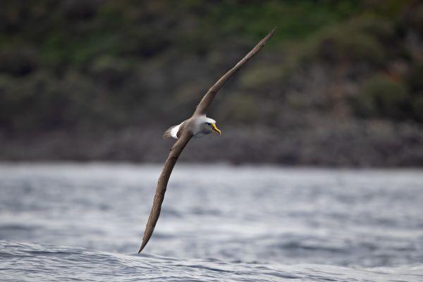 2019-03-11-buller-s-albatross-0192FA2AB7C0-2BE0-927B-F7EE-83FC712F10D6.jpg