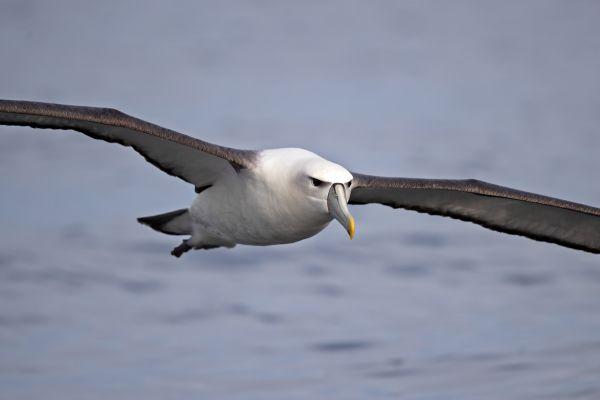 2019-03-11-shy-albatross-0006630ECC4B-EC4E-BC12-836E-6688AB1E8540.jpg