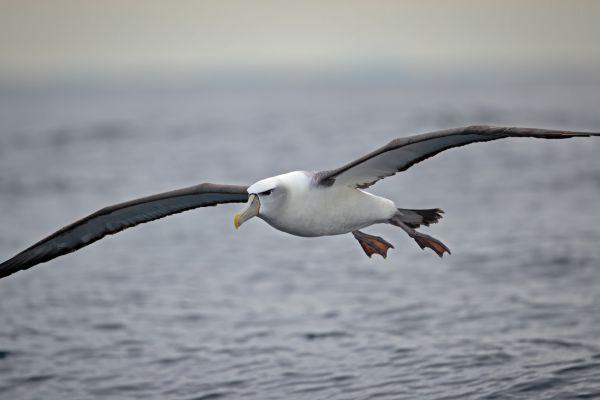 2019-03-11-shy-albatross-003525D3DF37-3CBE-9E6E-3F14-AA92DE2195ED.jpg