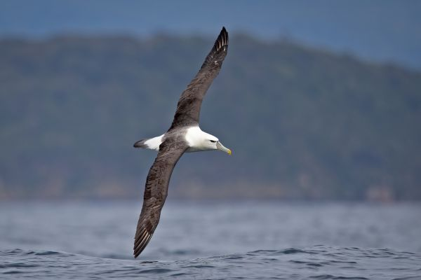 2019-03-11-shy-albatross-0159025CB4D2-5330-9F7B-59A4-617394EF4CB0.jpg