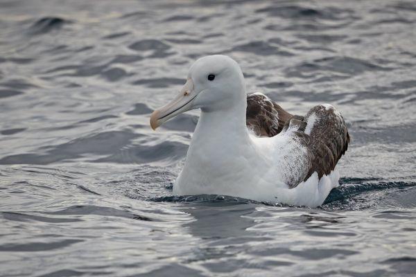 2019-03-11-southern-royal-albatross-00041B244010-6D18-7A37-66D1-FAC95D9A0933.jpg