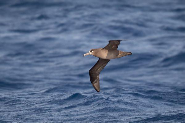 2019-04-10-black-footed-albatross-002244C3BA49-E05E-4A39-3E27-CAA19D637A9C.jpg