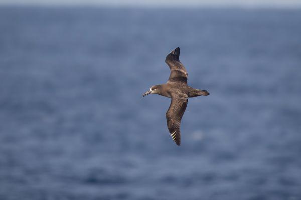 2019-04-10-black-footed-albatross-0030-28598D089-A16D-7E24-5F27-81FDD7E7EF12.jpg