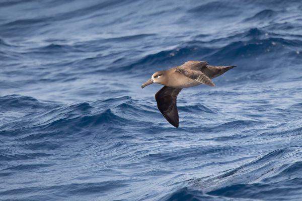 2019-04-10-black-footed-albatross-0038327A5E2F-BE01-E661-BD40-D14AF76B06D8.jpg