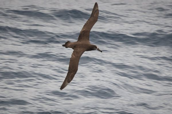 2019-04-12-black-footed-albatross-0006DF1DF4FE-B65C-E349-6229-1C951107EC0A.jpg