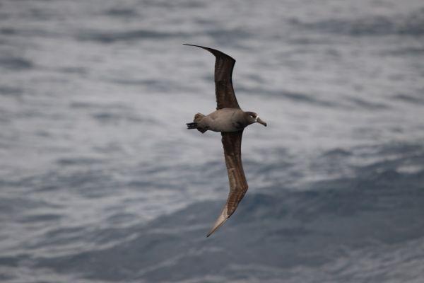 2019-04-12-black-footed-albatross-0022A8844DED-9D55-039B-C373-1C32BEF3479A.jpg