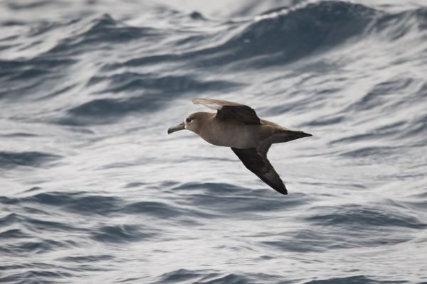 2019-04-12-black-footed-albatross-0045736CB3F0-F2F7-77F6-F0FF-64A1CD9870F9.jpg