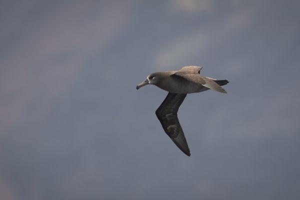 2019-04-12-black-footed-albatross-0129EC9ADC2F-0971-B928-F838-331A71A40FDB.jpg